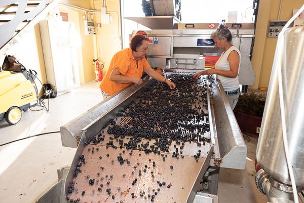 Destemming the grapes at Podere sul Lago